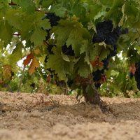 Suelos cultivo viñedos