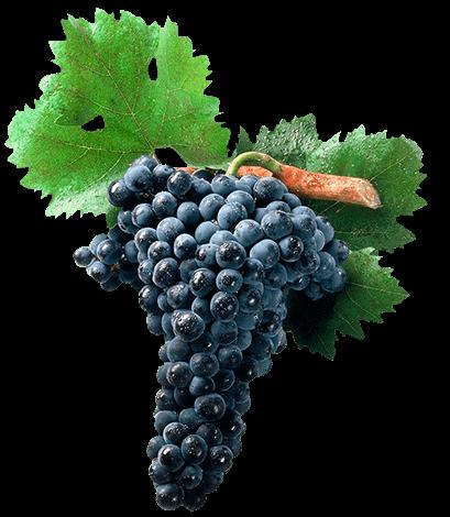 Racimo uvas tempranillo
