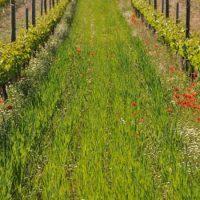 Siembra, cultivo y manejo de abono verde en suelos de viñedo