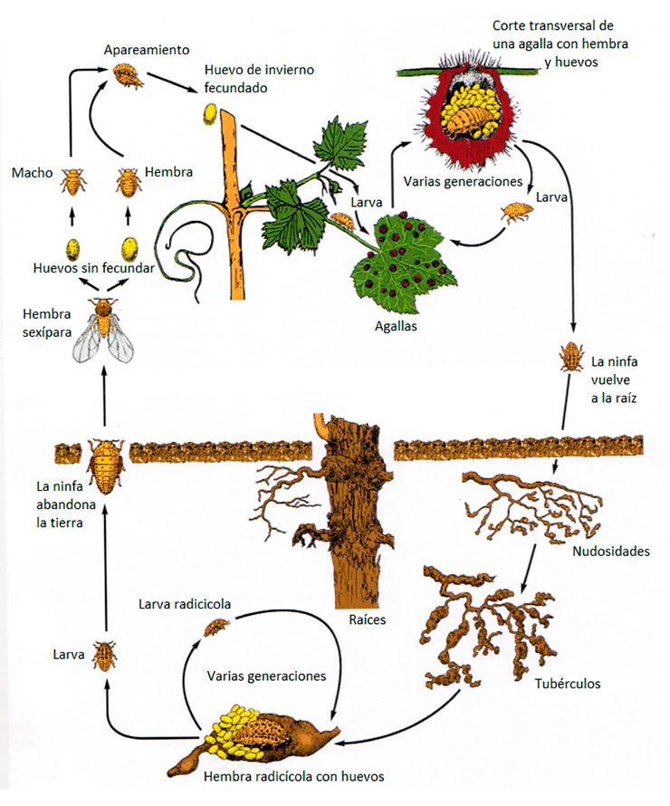 Ciclo biológico de la filoxera